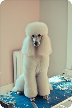 Passion for poodles